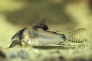 <i>Corydoras septentrionalis</i> species of catfish