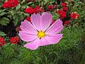 Cosmos bipinnata - flower view 01.jpg