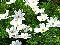 Cosmos bipinnatus white 01.JPG
