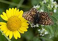 Cota tinctoria pallida - Yellow chamomile - Boyacı papatyası 3.jpg