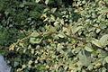 Cotoneaster dammeri 15305.JPG