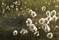 Cottongrass - 2 (2552976389).jpg