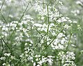 Cow Parsley in Dapps Hill Wood - panoramio.jpg