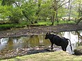 Cow crossing the Lymington River, New Forest - geograph.org.uk - 430719.jpg