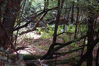 California mixed evergreen forest - California mixed evergreen forest in the Santa Cruz Mountains.