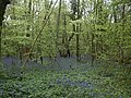 Crab Wood bluebells in May - geograph.org.uk - 469835.jpg