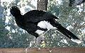 Crax albertiPCCA20051227-1981B.jpg