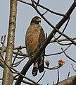 Crested Serpent Eagle AMSM2446.jpg