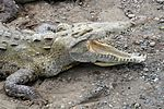 File:Crocodylus acutus 1 CR.JPG