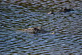 Crocodylus acutus Caye Caulker 02.JPG