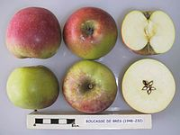 Cross section of Bouscasse de Bres, National Fruit Collection (acc. 1948-232).jpg