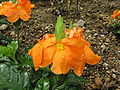 Crossandra infundibuliformis Summer Candle3.jpg