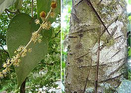 Croton drago (or lechleri), the Dragon's Blood tree (11239908285).jpg