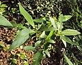 Croton persimilis 04.JPG