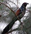 Crow Pheasant.jpg