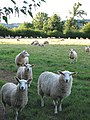 Curious sheep - geograph.org.uk - 514233.jpg