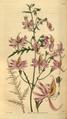 Curtis's Botanical Magazine, Plate 3070 (Volume 58, 1831).png