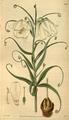 Curtis's Botanical Magazine, Plate 3083 (Volume 58, 1831).png