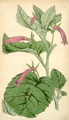 Curtis's Botanical Magazine, Plate 4331 (Volume 73, 1847).png