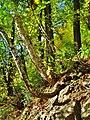 Curved tree - panoramio.jpg