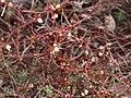Cuscuta epithymum (flowering).jpg