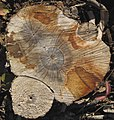 Cut tree trunk (Wright Run Creek, Dublin, Ohio, USA) (39902353483).jpg