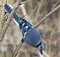 Cyanocitta cristata (blue jay) (Newark, Ohio, USA) 11.jpg
