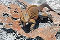 Cyclura rileyi rileyi (San Salvador rock iguana) (Green Cay, offshore from northwestern San Salvador Island, Bahamas) 7 (15854719339).jpg