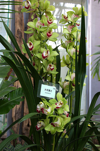 File:Cymbidium grandiflorum 20090130.jpg