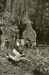 Cypripedium acaule WFNY-f006.jpg