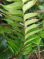 Cyrtomium falcatum (Sori) 2.jpg