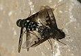 Dípteros copulando - Ánthrax trifasciatus (4252926612).jpg