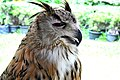 D85 1796Siberian Eagle Owl Photographed by Trisorn Triboon.jpg