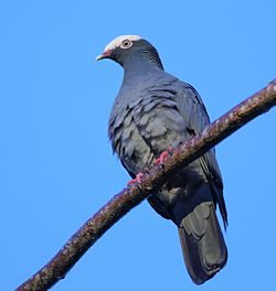DR White-crowned Pigeon (cropped).jpg