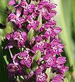 Dactylorhiza majalis flowers140503.jpg