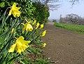 Daffodils and path, Barnett Demesne - geograph.org.uk - 1211978.jpg