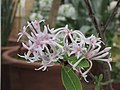 Dais cotinifolia -伯明翰植物園 Birmingham Botanical Gardens- (9156016165).jpg