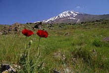 Damavand-Poppies.jpg