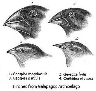 Adaptive radiation - Four of the 14 finch species found in the Galápagos Archipelago, which are thought to have evolved via an adaptive radiation that diversified their beak shapes, enabling them to exploit different food sources.