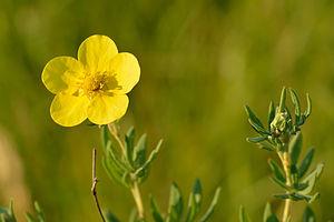 Dasiphora fruticosa - Dasiphora fruticosa subsp. fruticosa, Estonia