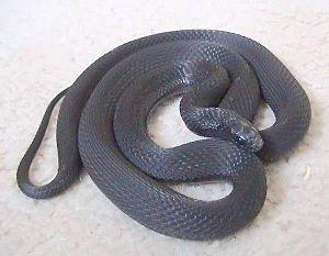 Dasypeltis - Montane egg-eating snake (Dasypeltis atra)