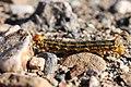 Death Valley Desert Gold Super Bloom (145054485).jpeg