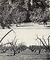 Deciduous orchards in California winters (1951) (20851980941).jpg