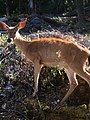 Deer near Oregon Caves.jpg