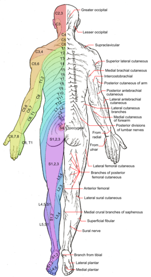 Cutaneous nerve - Image: Dermatomes and cutaneous nerves posterior