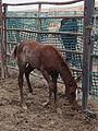 Desatoya Wild Horse Gather Day Four (7827425036).jpg