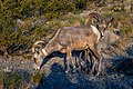 Desert Bighorn Sheep (919bea27-fe50-48ce-b7ec-d57875ae2d77).jpg