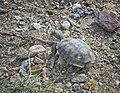 Desert Tortoise (13987389806).jpg