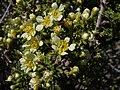 Desert bitterbrush, Purshia glandulosa (16653752647).jpg