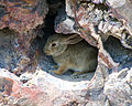 Desert cottontail rabbit in Petrified Forest National Park.jpg